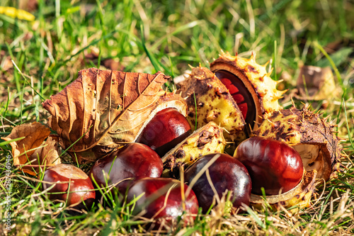 Chestnuts (Aesculus Hippocastanum) lying between grass at an autumn and sunny day Wallpaper Mural