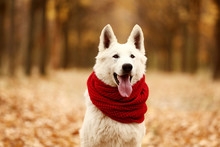 White Swiss Shepherd Dog With ...