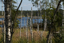 Many Trunks Of Birch On The Background Of The Swamp