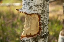 Fresh Beaver Tracks On Birch T...