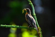 Canadian Bird Eating A Grasshopper