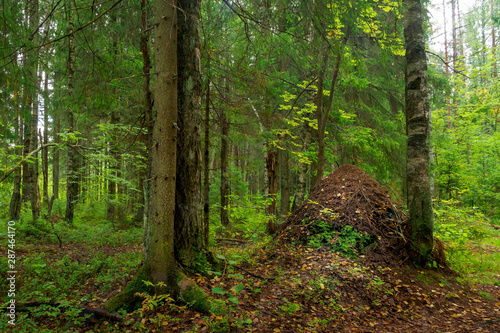 Photo ANTHILL IN GREEN FOREST