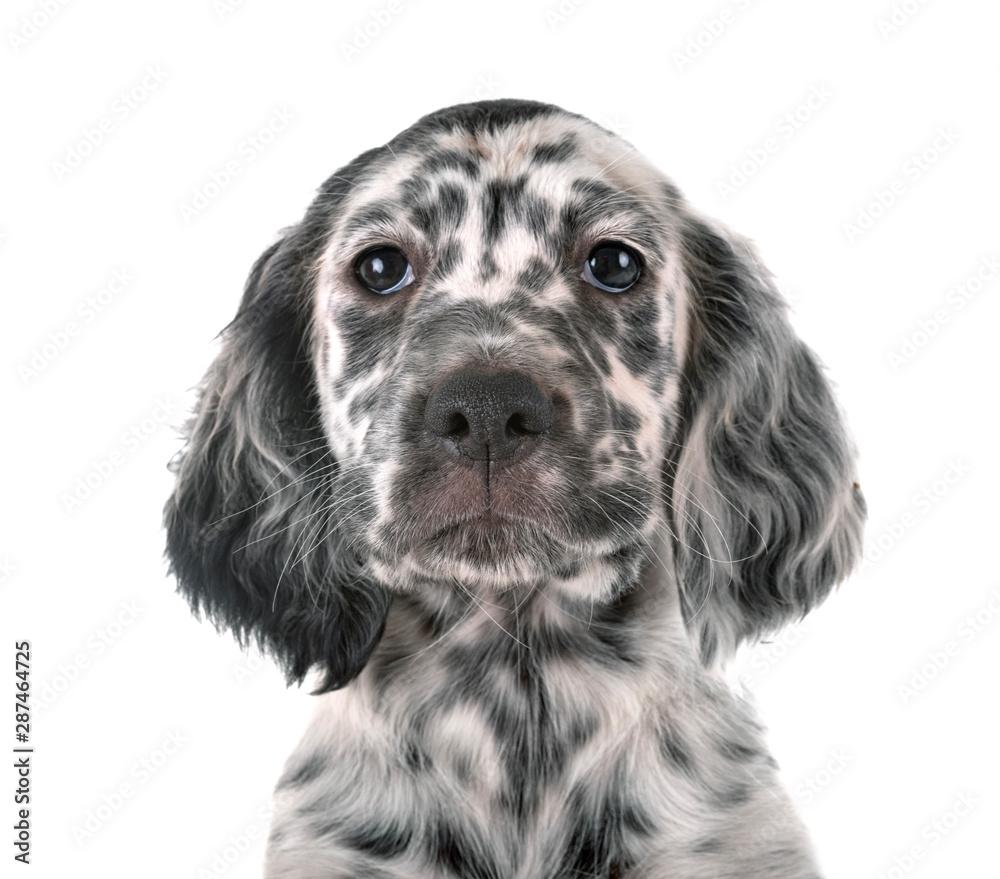 Fototapety, obrazy: puppy english setter