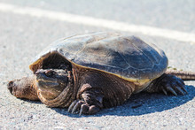 Snapping Turtle Crossing Street