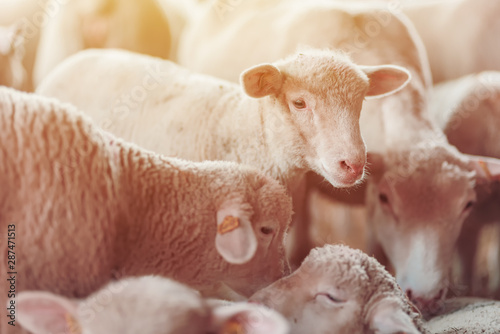 Foto op Canvas Schapen Lamb in sheep pen on dairy farm