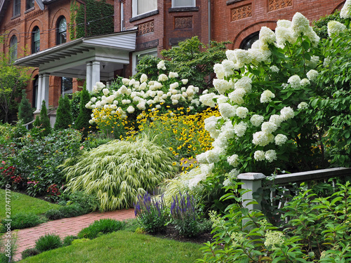 Garden Poster Hydrangea Front yard on residential street, with white panicle hydrangea bushes blooming in late summer
