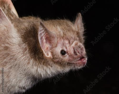 Carta da parati The common vampire bat (Desmodus rotundus) is a small, leaf-nosed bat native to the Americas
