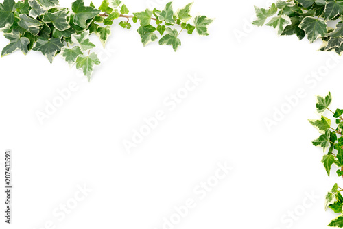 Botanical frame : Ivy on a white background. Fototapeta