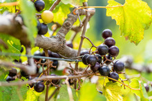 Noble Muscadine Grapes On Trel...