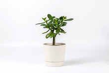 Succulent Houseplant Crassula In A Pot On White Background