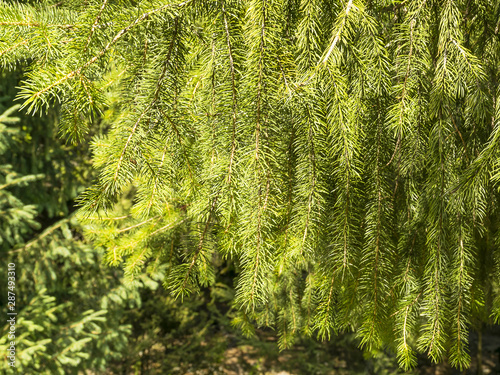 Fototapeten Wald Background from branches of spruce. Beautiful landscape..