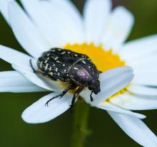 Macro Of A Beetle (oxythyrea Funesta) On A Daisy Blossom In A Mountain Meadow