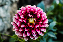 Dahlia. White And Red Dahlia. ...