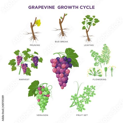 Grapevine plant growing infographic elements isolated on white, illustrations flat design. Planting process of grape from seeds, bud break, flowering, fruit set, veraison, harvest, ripe grape bunch. Fototapete