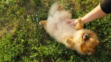Chilling Resting On Nature Green Grass Dog. Pomeranian Spitz Lying On His Back. Weeking Countryside. Video Footage.