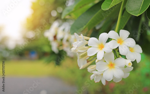 White-yellow frangipani tropical flower, plumeria spa flower blooming on tree.
