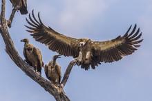 White Backed Vulture Landing I...