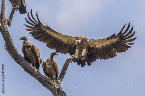 White backed vulture landing in tree Canvas Print