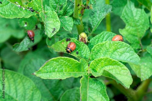 Fotomural  Colorado beetle larvae on green potato tops