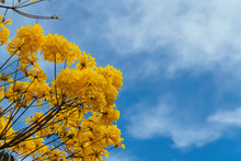 Golden Trumpet Tree Under A Blue Sky.