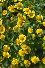 Common Sneezeweed Flowers