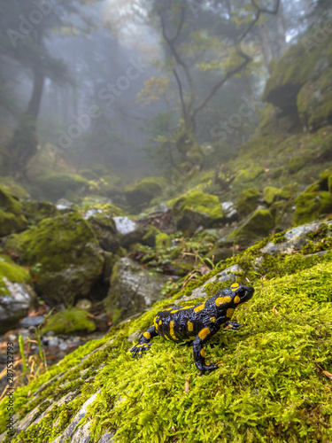 La pose en embrasure Fleur Fire salamander in forest landscape