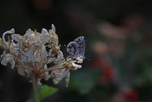 Geranium Zebra Butterfly ; Cacyreus Marshalli
