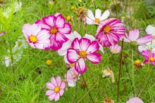 Many Cosmos Bipinnatus Flowers. White Pink Cosmea Flower Fresh