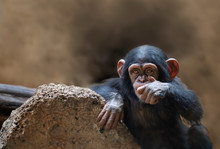 Chimpanzee With A Hand In Its ...