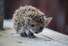 Hedgehog Close-up Looking Dire...