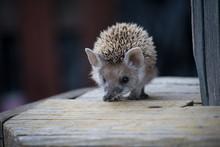 Hedgehog Closeup Sniffing A Bo...