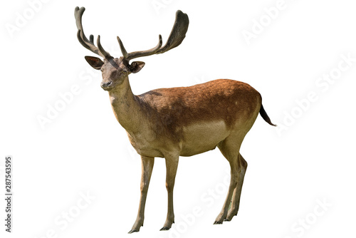 Poster Cerf Red deer, the largest deer species. Isolated