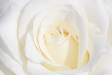 Close Up Of Beautiful White Rose Flower