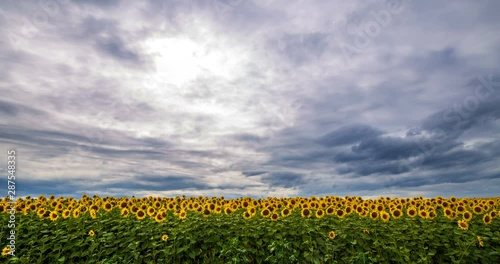 Fotomurales - Cloudy sky above yellow - green field sunflower, panoramic view. Beautiful scenic dynamic landscape agricultural land, 4K time lapse. Beauty nature, agriculture.