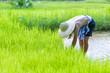 Leinwanddruck Bild - The Farmer planting on the organic paddy rice farmland