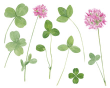 Watercolor Hand Drawn Botanical Illustration With Meadow Wild Plant Red Clover (trifolium), Flowers And Leaves Set  Isolated On White Background.