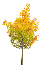 Small Yellow And Green Autumn Maple Tree