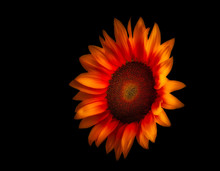Surrealistic Fire Red Glowing Sunflower Macro On Black Background, Fine Art Still Life Vibrant Blossom With Detailed Texture,seen From The Front