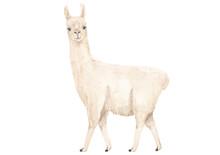 White Llama Or Alpaca  Waterco...