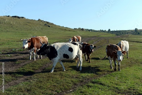 The cow herd returns in the evening from the pasture Canvas Print