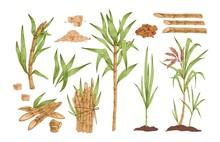 Sugarcane Hand Drawn Vector Il...