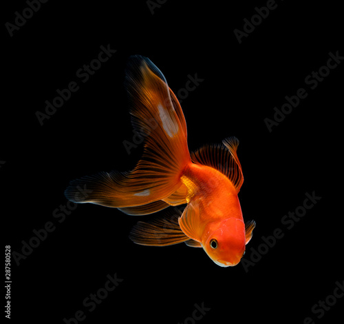 Fototapeta goldfish isolated on a dark black background