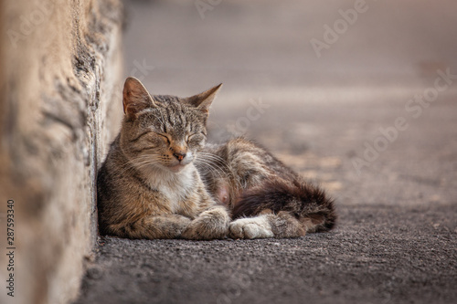 Fototapeta  street homeless cat resting against the wall, recently gave birth to kittens, wa