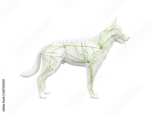 3d rendered anatomy illustration of the canine lymphatic system Fototapete