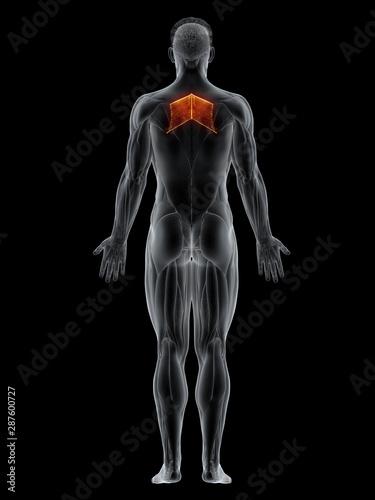 3d rendered muscle illustration of the rhomboid major Fototapet