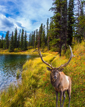 Magnificent Deer Grazes On The Lake
