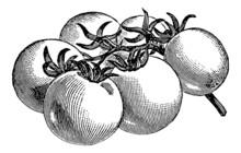 Vintage Illustration Of Tomatoes
