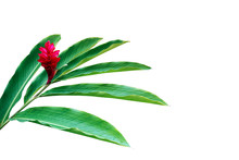 Green Leaves With Red Flower Of Red Ginger (Alpinia Purpurata) Tropical Forest Plant Isolated On White Background, Clipping Path Included.