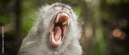 Foto op Aluminium Aap Screaming monkey. Face of wild animal showing its fangs