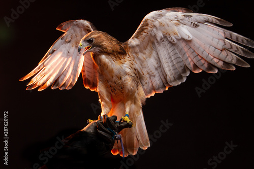 Photo  Red Tailed Buzzard / Hawk - Birds of Prey
